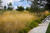 Pennisetum spathiolatum flowering groundcover grass in urban park landscape design meadow garden, Jeffrey Open Space, Irvine California