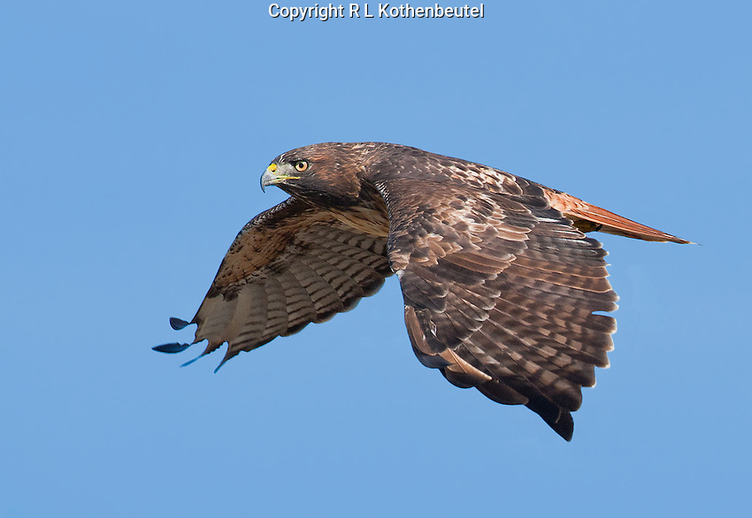 Adult red-tailed hawk in flight
