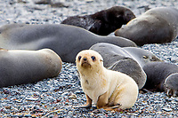 Antarctic fur seal, Arctocephalus gazella, aka Kerguelen fur seal, rare, leucistic pup, on the beach, with normally dark-cokored pup, Fortuna Bay, South Georgia, Atlantic Ocean