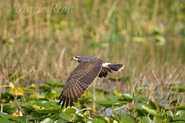 Snail Kite  (Rostrhamus sociabilis), female in flight, Osceola County, Florida, USA