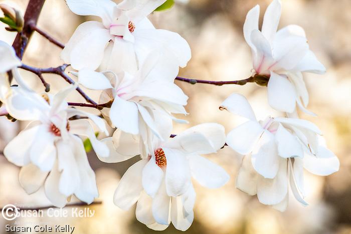 Magnolias in Boston Public Garden in Boston, MA, USA