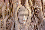 The head of Buddha in Wat Mahathat, Ayutthaya Historical Park, Thailand , banyan or strangler fig