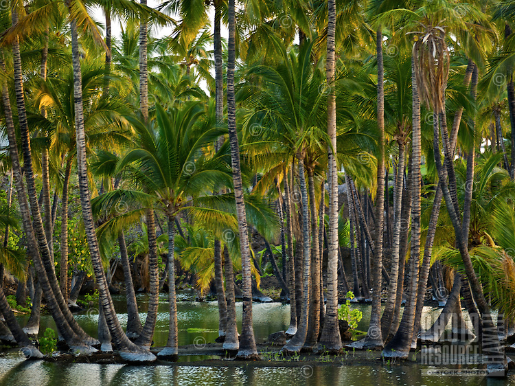 A grove of coconut palm trees within a peaceful lagoon on the Big Island.