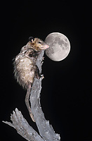 Virginia Opossum (Didelphis virginiana), adult climbing dead tree at night with moon, Starr County, Rio Grande Valley, Texas, USA, North America
