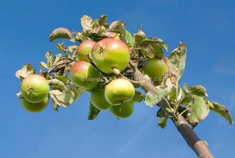 COLUMNAR APPLE 'URBAN BLUSHING DELIGHT' fruits,.Malus domestica 'Urban Blushing Delight' against blue sky