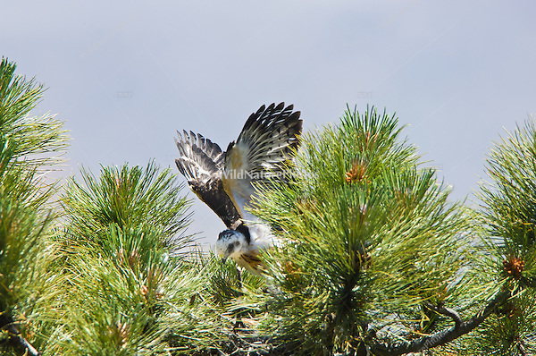 Short-tailed Hawk (Buteo brachyurus) nestling, exercising in nest, building strength to fledge; Arizona, (Nesting Record)