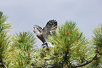 Short-tailed Hawk (Buteo brachyurus) nestling, exercising in nest, building strength to fledge; Arizona, (Nesting Record)