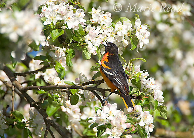 Baltimore Oriole (Icterus galbula) male foraging by probing into apple blossoms with its bill, New York, USA