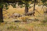 Mule Deer bucks playfighting