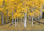 Uncompahgre National Forest, Colorado:<br /> Detail view of an aspen (Populus tremuloides) forest in fall color, San Juan Range