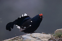 Black Grouse, Tetrao tetrix, male displaying, Wallis, Switzerland, May 1998