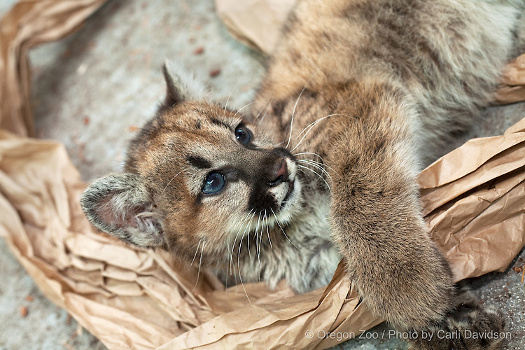 A mountain lion cub plays with butcher paper at the Oregon Zoo.
