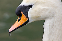 Mute swan drinking, River Windrush,  Burford, UK. Feral birds may be at risk from Avian Flu bird flu virus
