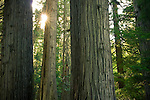 Washington, Idaho border, Kaniksu National Forest. Cedar trees and sunstar in the Roosevelt grove of Ancient Cedars in the Selkirk Mountains.