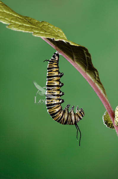 MONARCH BUTTERFLY life cycle..Fifth instar on Joe-Pye Weed leaf..North America. Danaus plexippus.