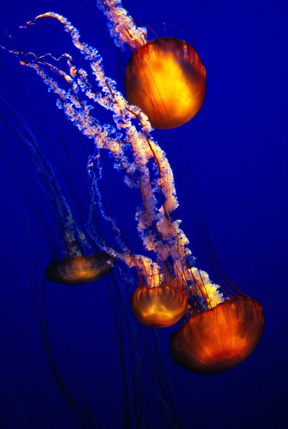 Jellyfish (Sea nettle-chrysaora fuscescens) The Outer Bay, Monterey Bay Aquarium, Monterey, California