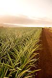 USA, Oahu, Hawaii, dirt road runs through a pineapple plantation on the North Shore