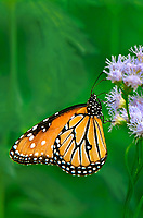 379900015v two wild queen butterfllies danus glippus perches on a mistflower conoclinium coelestinum in the rio grande valley hidalgo county south texas united states