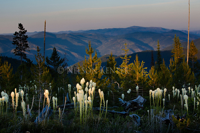 The last rays of the setting sun light the blooming beargrass on the hills above Missoula, Montana in the Lolo National Forest