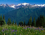 Olympic National Park, WA<br /> Alpine wildflowers bloom on High Divide overlooking the Hoh River Valley and Mount Olympus