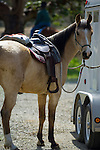 Saddled horse ready for trail ride tied to horse trailer
