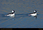 Bufflehead Males, Goldeneye, Bolsa Chica Wildlife Refuge, Southern California