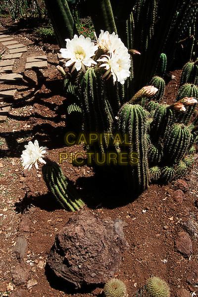 Flowering cacti, Botanical Garden, Jardim Botanico, Funchal, Madeira