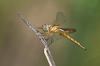 388550012 a wild juvenile male red saddlebags tramea onusta perches on a branch at santa ana national wildlife refuge in the lower rio grande valley in south texas