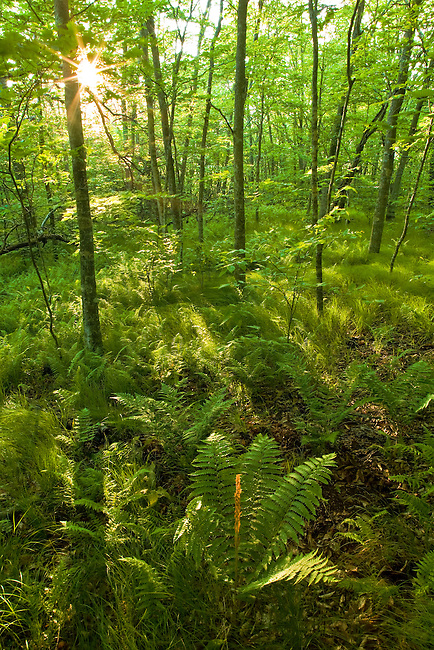 Cinnamon ferns in beech forest, Unaka Mountain Wilderness Area