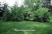 63808-023.09 White Pine trees (Pinus strobus) and Arrowwood Viburnum (Viburnum dentatum) bushes in yard landscaped for birds Marion Co. IL