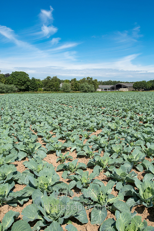 Cabbage plants - Linclonshire, July