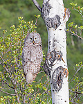 Great Gray Owl, Grand Teton National Park