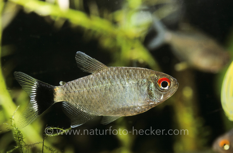 Rotaugen-Moenkhausia, Moenkhausia sanctaefilomenae, red eye tetra, yellow-banded moenkhausia, yellow back moenkhausia, yellowhead tetra, Yeux-rouges, Tétra aux yeux rouges