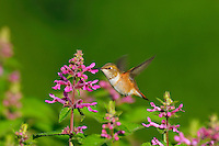 Rufous Hummingbird (Selasphorus rufus) feeding on Cooley's Hedge Nettle flower, Pacific Northwest.  August.