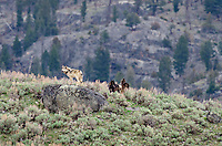 Wild Yellowstone gray wolves (Canis lupus).  Yellowstone National Park, Wyoming.  Late spring.