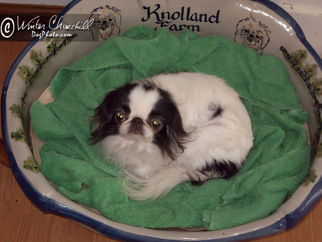Japanese Chin in a basket<br /> <br /> <br /> <br />  Shopping cart has 3 Tabs:<br /> <br /> 1) Rights-Managed downloads for Commercial Use<br /> <br /> 2) Print sizes from wallet to 20x30<br /> <br /> 3) Merchandise items like T-shirts and refrigerator magnets