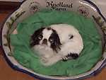 Japanese Chin in a basket<br />