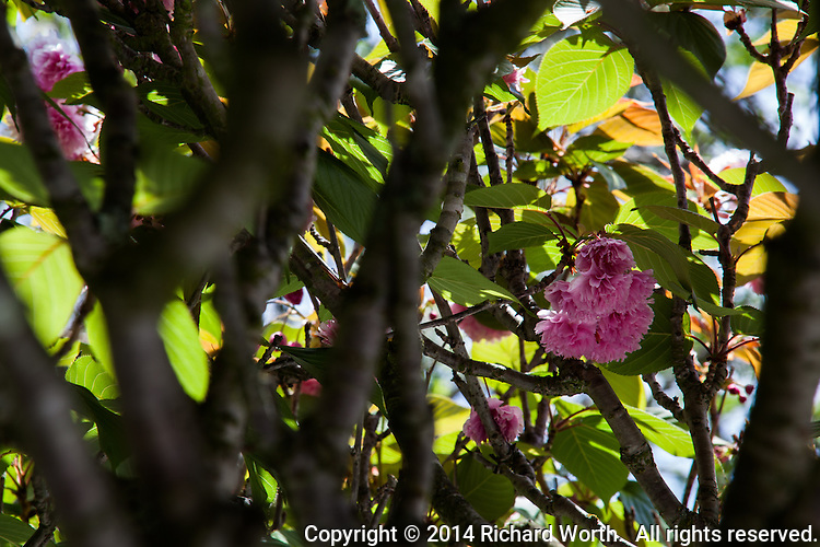 A cluster of pink blossoms sheltered by the branches and leaves of a tree at the Japanese Gardens in Hayward, California.