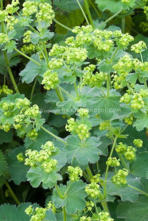 Alchemilla xanthochlora in bloom, ladies' mantle