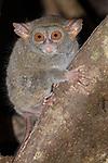 Indonesia, Sulawesi, pygmy tarsier (Tarsius pumilus)