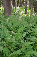 Ferns grow in profusion at Zanders Woods Forest Preserve in Cook County, Illinois