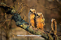 01116-025.06 Great Horned Owls (Bubo virginianus) approx. 6 wks old    IL