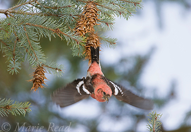 White-winged Crossbill (Loxia leucoptera), male taking off after feeding on Douglas-fir cones, Ithaca, New York, USA