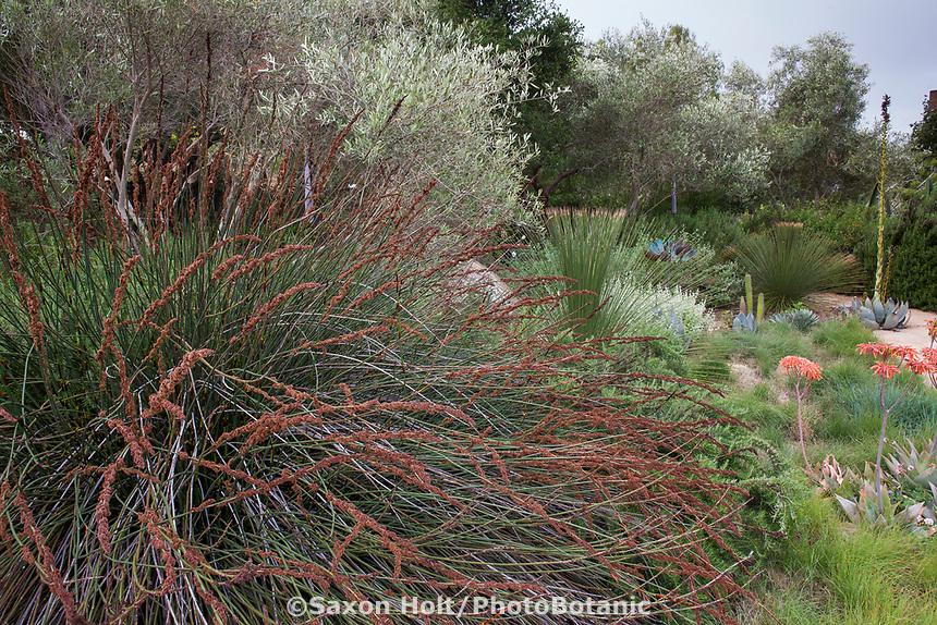 Thamnochortus insignis Thatching Reed (in seed), Restio in summer-dry garden Santa Barbara California