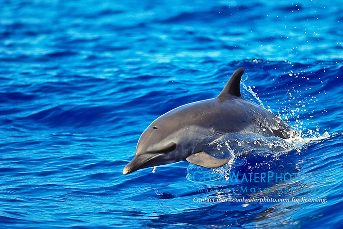 pantropical spotted dolphin, Stenella attenuata, baby dolphin, jumping out of boat wake, wake-riding, offshore, Kona Coast, Big Island, Hawaii, USA, Pacific Ocean