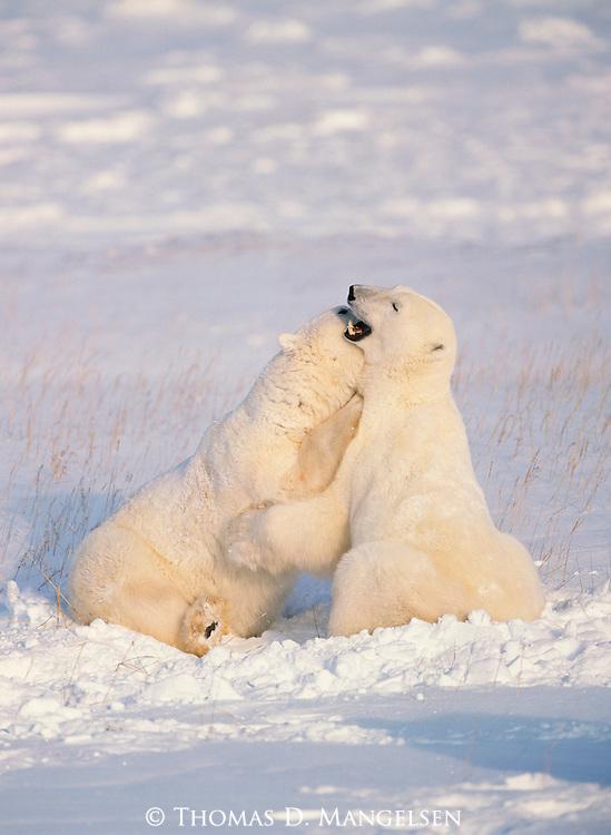 Two polar bears play fight at Hudson Bay in Manitoba, Canada.