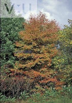 Black or Sour Gum Tree (Nyssa sylvatica), Eastern North America.