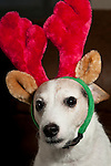 Jack Russell Terrier wearing Christmas Hats