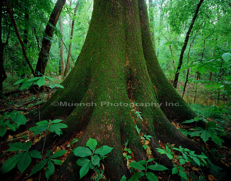Oak bole - Congaree National Park.South Carolina