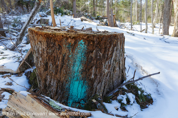 Tree stump in Unit 44 of the Kanc 7 Timber Harvest project along the Kancamagus Scenic Byway in the White Mountains of New Hampshire USA. This paint mark usually means the tree will be cut during the timber harvest. However, because the paint mark is placed so low on the tree it remains on the tree stump after the tree has been cut.